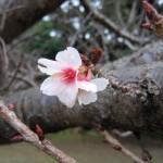 鹿児島県種子島で早咲きの桜が開花